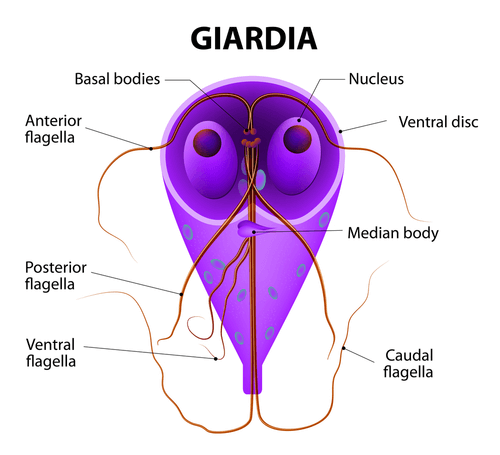Symptoms of untreated giardia in humans. Indications associated with oils - Living Health